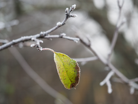 Green leaf on a snow-covered tree branch. Cold snap, change of weather, onset of winter Banque d'images - 115398604