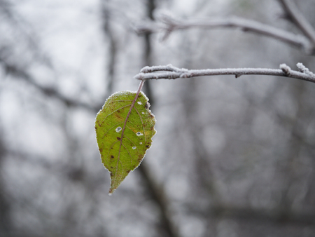 Green leaf on a snow-covered tree branch. Cold snap, change of weather, onset of winter Banco de Imagens