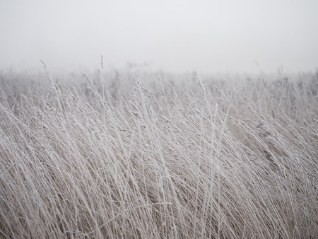 The ears in the field are covered with frost. The sudden cold change in the weather