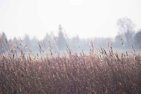 The ears in the field are covered with frost. The sudden cold change in the weather Banque d'images - 115398622