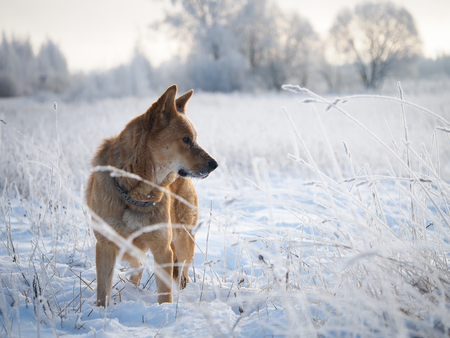 Big dog in a frozen field. The snow, the sudden cold, winter