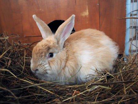 Portrait of a huge fluffy red rabbit Imagens