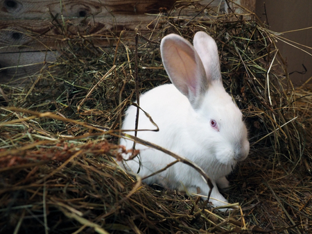 Portrait of a white rabbit with red eyes Banque d'images - 115398696