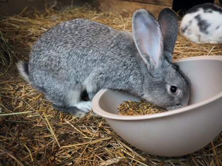 Cute grey rabbit eats food from a bowl in a cage