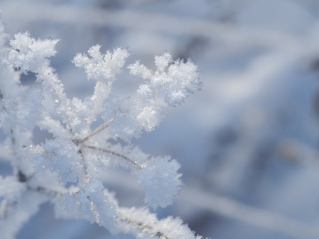 Icy flowers. Frost, snow on plants. Macro