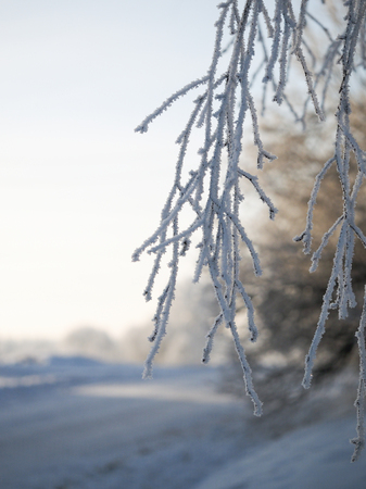Frozen tree branches in the snow. Cold snap, weather change. Banque d'images - 115399184
