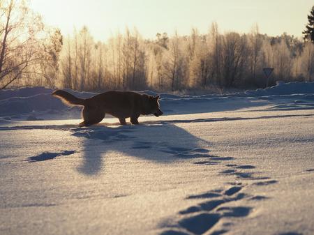 A big dog runs on a huge snowdrifts. Sunset. Severe frost. Winter