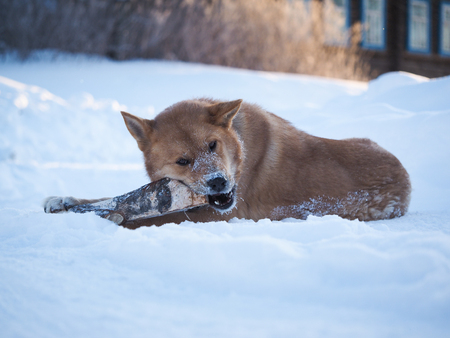 Big dog playing with a log. The dog lies in a huge snowdrift. Severe frost. Winter Banque d'images - 121482740
