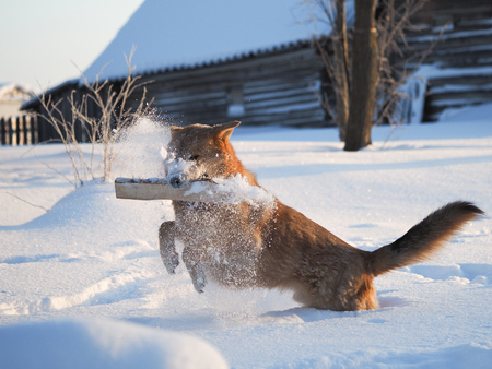 Big dog playing with a log. The dog runs on a huge snowdrifts. Severe frost. Winter