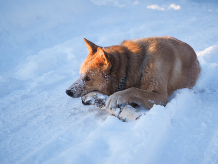 Big dog playing with a log. The dog lies in a huge snowdrift. Severe frost. Winter Banque d'images - 121482742