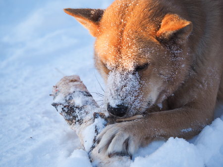 Big dog playing with a log. The dog lies in a huge snowdrift. Severe frost. Winter Banque d'images - 121482743
