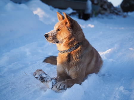 Big dog playing with a log. The dog lies in a huge snowdrift. Severe frost. Winter