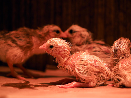 Newborn chickens in infrared light. Brood for rearing chickens Imagens