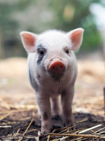 Cute little pigs in the farm. Portrait of a pig Stock Photo