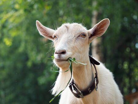Mooie witte geit die gras eet. Portret van boerderijdier