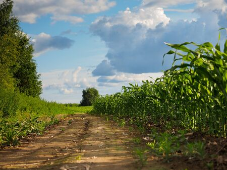 Corn field. Rural road. The concept of high yields, agriculture Stock fotó