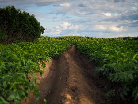 Fields with landings in the summer. The concept of high yields, agriculture