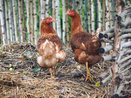Red chickens walking near a village by a fence. Stock fotó