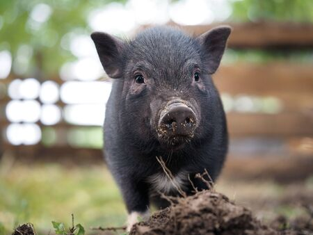 Pot-bellied pig. Portrait of a pig. The concept of breeding pigs, veterinary Banco de Imagens