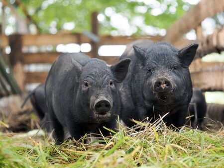 Pot-bellied pig. Portrait of a pig. The concept of breeding pigs, veterinary Stockfoto
