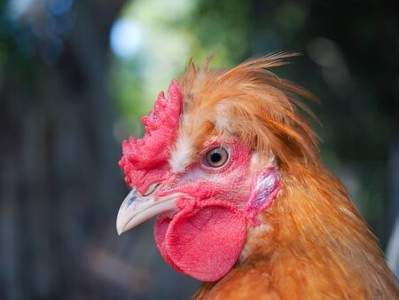 Portrait of a crested chicken. Funny hairstyle of a bird