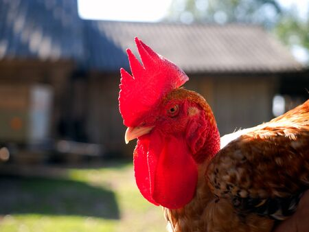 rooster of breed bare neck close up
