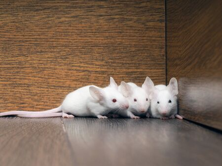 White mice in the closet. Rodent family of rats