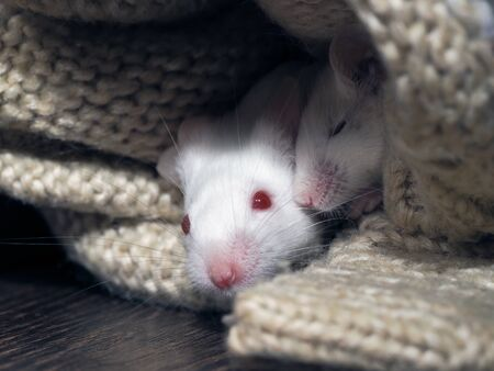 Two white rats sleep in the closet in knitted things