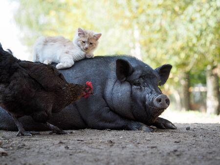 Funny kitten lying on a fat pig. Unusual friendship animals.