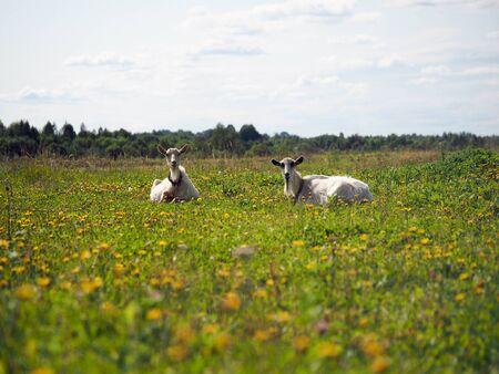 Goats grazing in the field. Summer, green grass, blue sky. Idyllic rural landscape Stock fotó