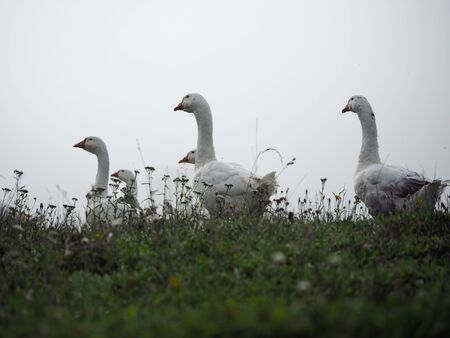 White geese graze in the green grass
