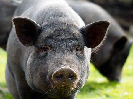 Portrait of a large black pig or boar 스톡 콘텐츠