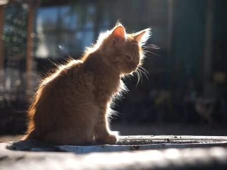 Cute fluffy red kitten in the sunlight. Portrait of a cat