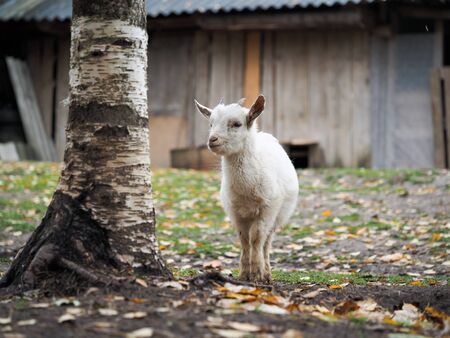 Little white goat. Portrait of an agricultural animal