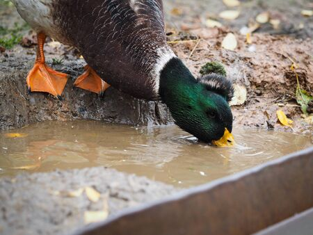 Duck Drake drinking water from a puddle