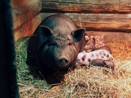A large pig sow with small newborn piglets in a pigsty