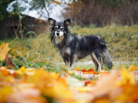 A sad dog. Autumn yellow leaves. Portrait of an animal