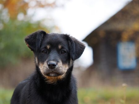 Portrait of a dog on the background of the house. Shepherd puppy