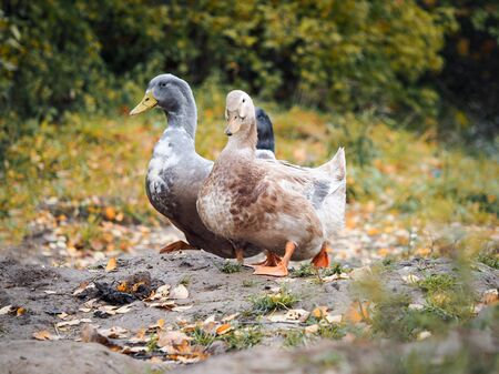 Cute duck is walking along the forest path. Autumn, yellow leaves