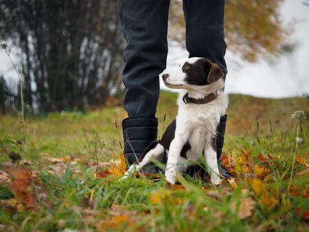 Human legs and a hunting dog. Training a puppy for game Stock fotó