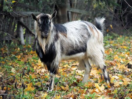 Old goat. Portrait of an animal in the autumn forest