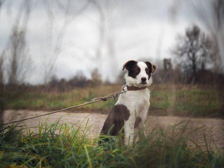 Sad puppy on a leash. Roadside field Stock fotó