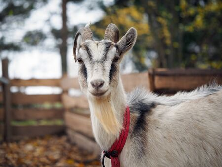 Portrait of a goat with horns. The animal in the collar