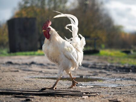 A white cock with a red crest walks down the path