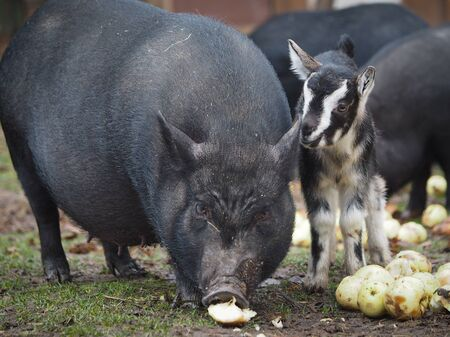 A huge pig and a small goat eat apples together