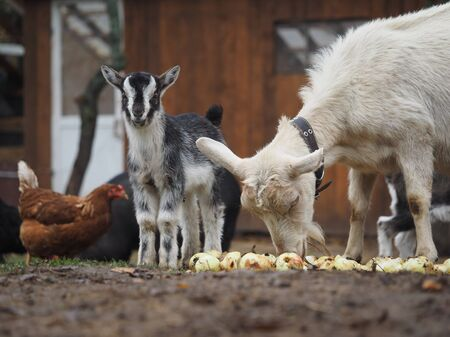 The goat and little goat eating apples.