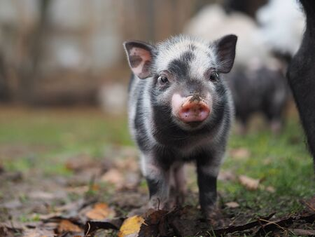Little pigs dig the ground. Funny pigs close up