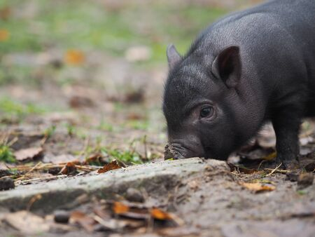 The little pig digs the ground with his nose