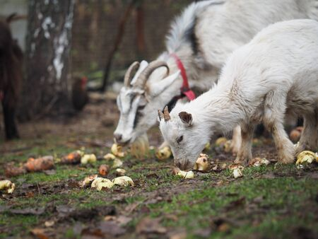 Goats with goats eat apples on the farm