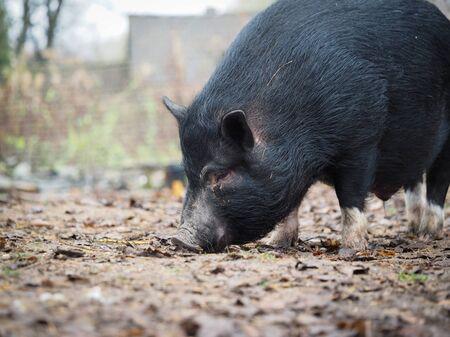 A big black pig sniffs the ground